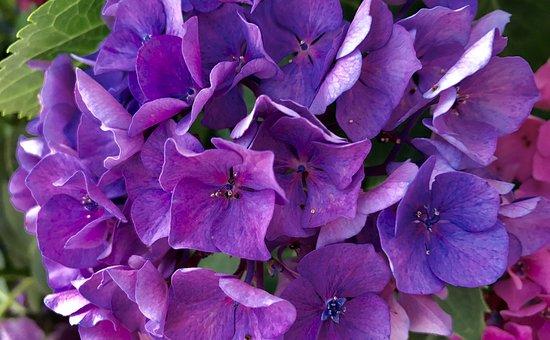 Flower, Hydrangea, Nature, Floral, Garden, Summer