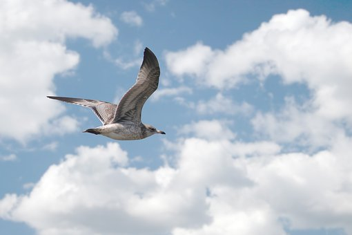 Bird, Seagull, Flying, Blue Skies, Freedom, Wings, Fly