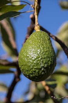 Hass Avocado, Avocado, Fruit, Tree, Green, Growing