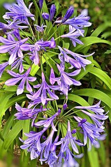 Plant, Agapanthus, Royal Lily, Container Plant, Garden