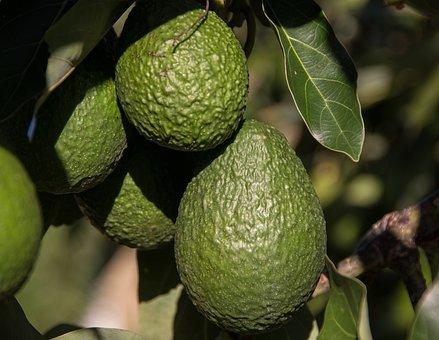 Hass Avocado, Avocados, Fruit, Tree, Green, Growing