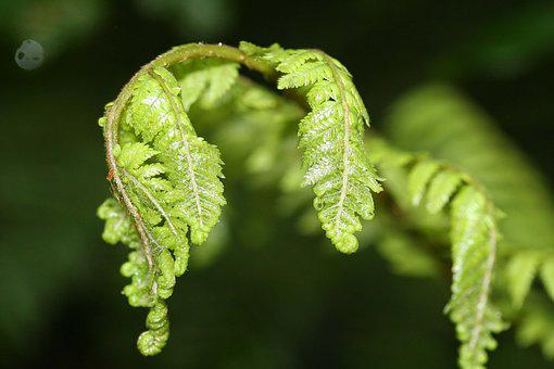 Fern, Unfurling, Green, Leaf, Young, New Zealand