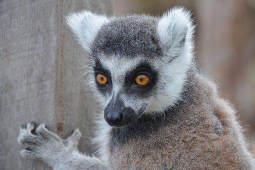 Lemur, Animal, Wildlife, Madagascar, Ring-tailed