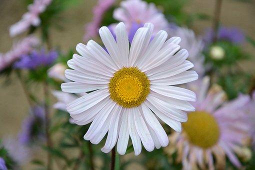 Flower, Marguerite, Petals, Summer Flowers, Garden