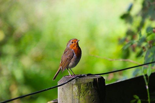 Bird, Robin, Wildlife, Nature, Animal, Wild, Garden
