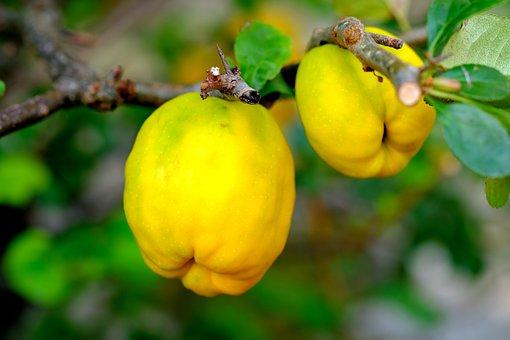 Ornamental Quince, Fruit, Bush, Fruits, Nature, Garden