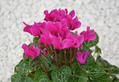 Flower, Cyclamen Mini, Bright Pink, Nature