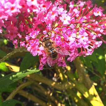 Bee, Nature, Insect, Blossom, Bloom, Nectar, Close