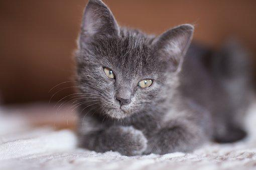 Cat, Grey, Animals, Pets, Animal, Overview, Cute, Eye