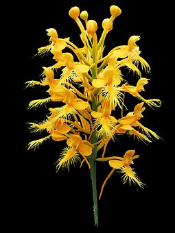 Platanthera Ciliaris, Yellow Fringed Bog Orchid