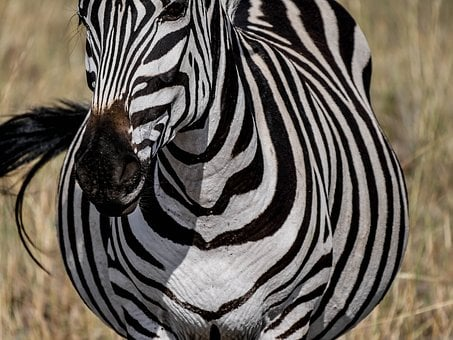 Zebra, Frontal, Striped, Freedom, Savannah, Eat, Graze
