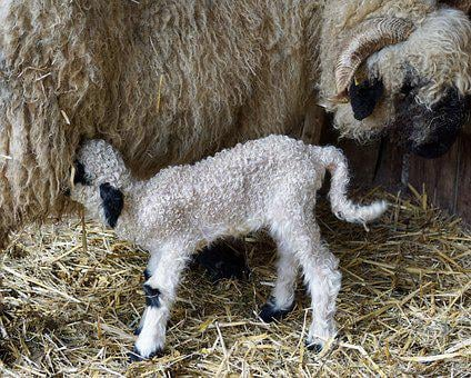 Black Nosed Sheep, Sheep, Wallisser-black Nose Sheep