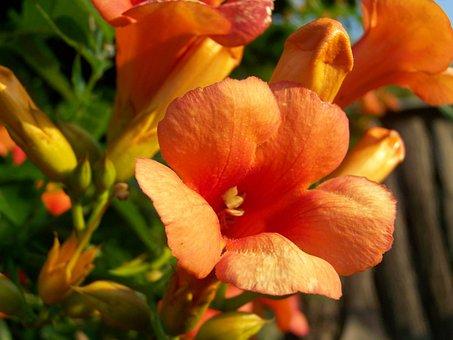 Trumpet Folyondár, Orange Climbing Plant, Garden