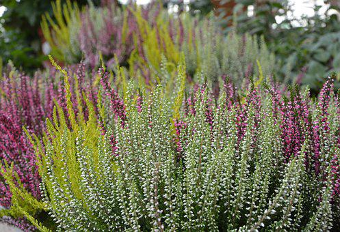 Plant, Heather, Colors, Pink Green, White Flowers