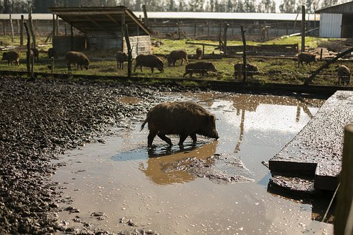 Wild Pig, Hatchery, Animals