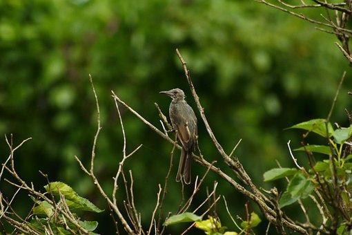 Animal, Forest, Wood, Little Bird, Brown-eared Bulbul