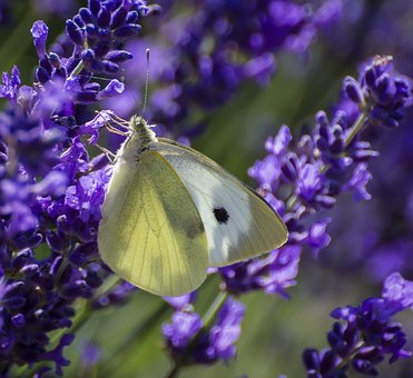 Butterfly, Large White, Lepidoptera, Feeding, Nectar