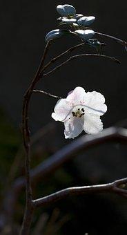 Azalea, White, Pink, Flower, Vandeusen Botanical Garden