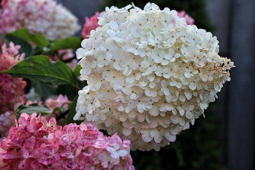 Hydrangea, Flowers, Hydrangeas, A Flower Garden