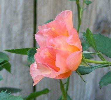 Sunrise Rose, Pink, Orange, Green, Weathered Fence