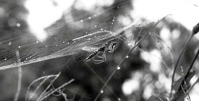 Black And White, Insect, Spider, Insect Trapped