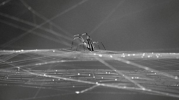 Black And White, Insect, Spider, Web, Armenia
