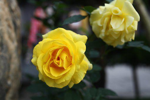 Yellow Rose, Yellow Roses, Love, Natural, Vega