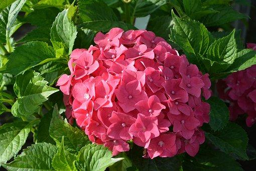 Plant, Hydrangea Red, Flower, Nature, Green Leaf