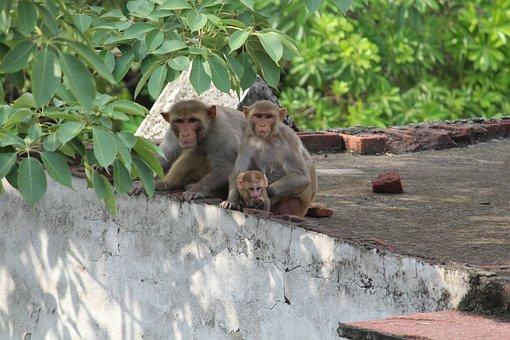 Monkey, Wildlife, Wild, Animal, Nature, Primate, Mammal