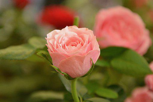 Flower, Pink, Pale Pink Color, Offer, Tenderness, Love