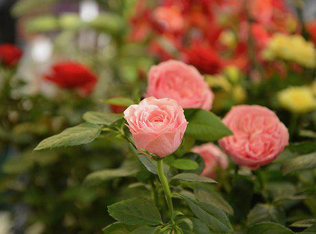 Flower, Pink, Pale Pink, Color Pink, Garden, Rosebush