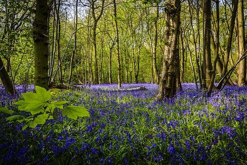 Flower, Bluebell, Spring, Floral, Park, Forest