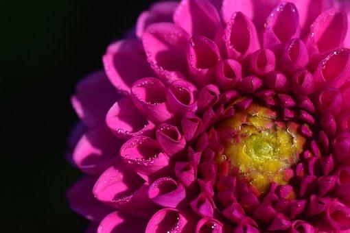 Dahlia, Pink, Flora, Flowers, Blossom, Bloom