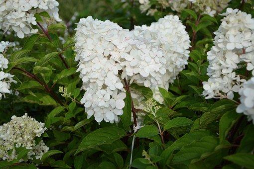 Plant, Flower, Hydrangea Paniculata, White Flowers