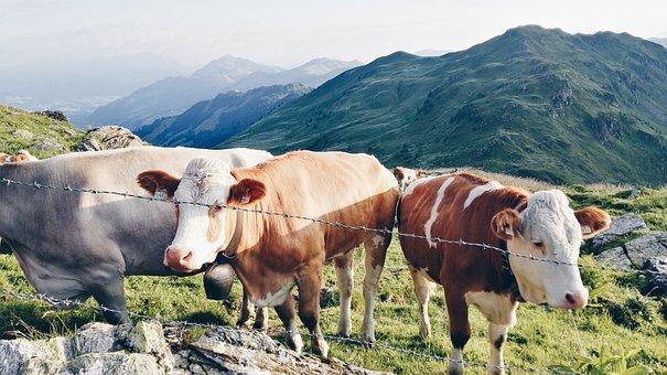 Cows, Salzburg Country, Tyrol, Austria, Kuhwiese, Alm