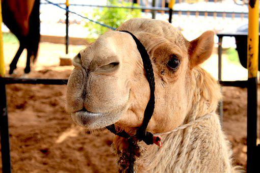 Camel, Dubai, Desert, Arab, Sand, Animal, Travel