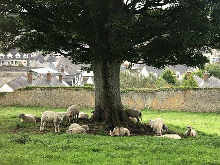 Ireland, Landscape, Sheep, Tree, Cool Viewpoint, Nature