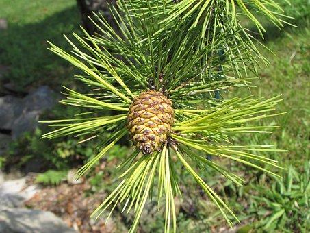Cone, Pine, Pine Cone, Tree, Green, Nature, Pinecone