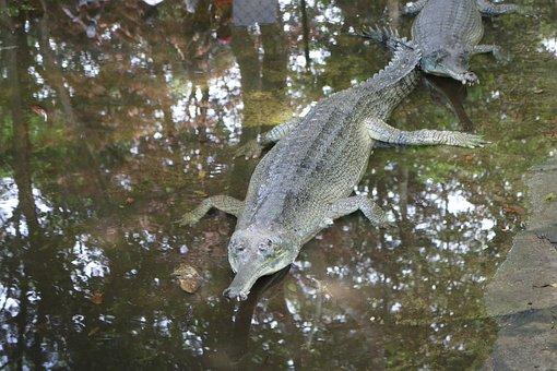 Crocodile, Water, Nature, Wild, Wildlife, Animal