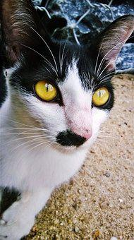 Cat, Malai, Feline, Domestic Cat, Puppy, Animal, Kitten