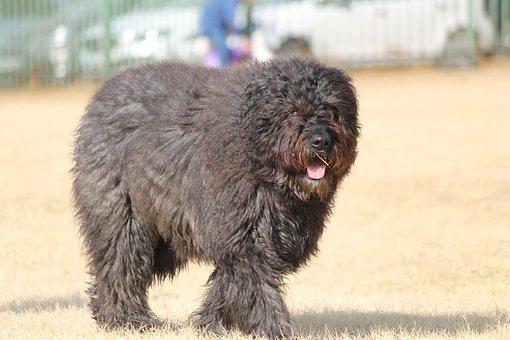 Dog, Belgium Bouvier, Breed, Large, Pet