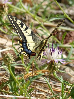 Butterfly, Papilio Machaon, Machaon, Butterfly Queen