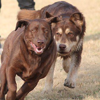 Dogs, Chase, Play, Brown Labrador, Run, Fun, Two