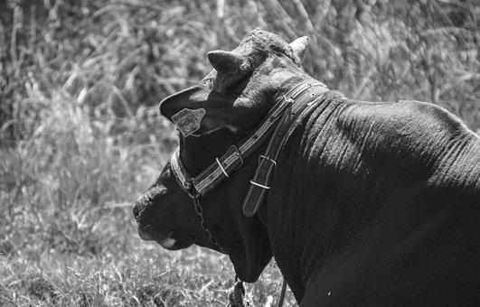 Bull, Cow, Farm, Animal, Beef, Agriculture, Calf