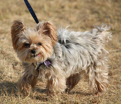 Dog, Small, Cute, Dog On Leash, Adorable, Tongue