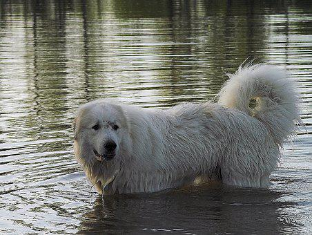 Pyrenean Mountain Dog, Water, Wet, Drink, Nature