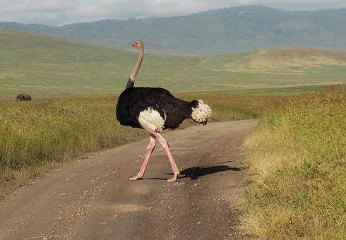 Ostrich, Bouquet, Bird, Africa, Flightless Bird