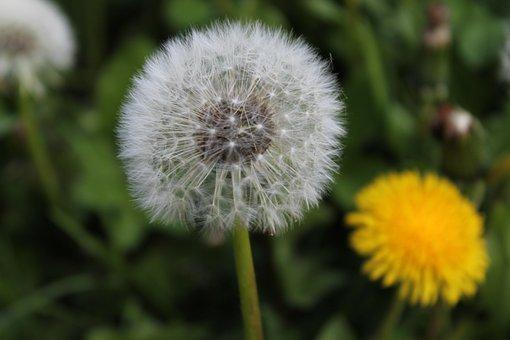 Sonchus Oleraceus, Meadow, Flower, Taraxacum Officinale