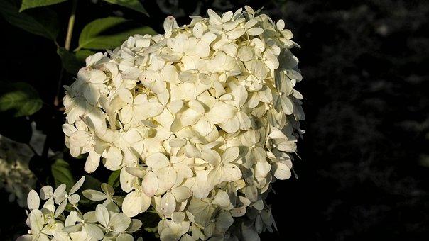 Hydrangea, Hydrangeas, Blooms, Flower, Garden, Nature