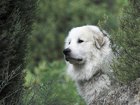 Pyrenean Mountain Dog, Head, Male, Forest, Ausschau